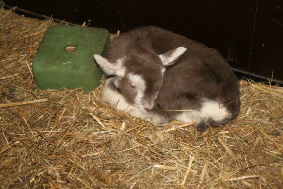 Twee geitenlammetjes geboren